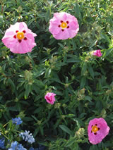 Cistus x purpureus 'Brilliancy'