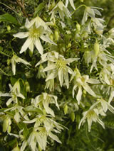 Clematis forsteri