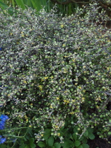 Corokia cotoneaster 'North Cape'