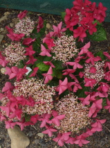 Hydrangea macrophylla 'Red Start'