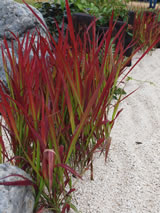 Imperata cyclindrica 'Rubra'