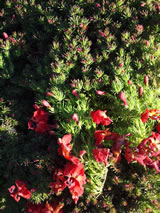 Leschenaultia formosa 'Prostrate Red'