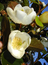 Michelia yunnanensis 'The Oracle'