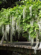 Wisteria floribunda 'Snow Showers'