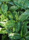AUCUBA japonica 'Jungle Girl'