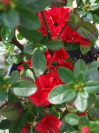 AZALEA  'Wards Ruby'