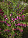 Boronia heterophylla 'Purple Jared'  PVR