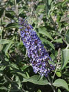 Buddleja fallowiana 'Lochinch'