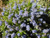 CEANOTHUS dentatus x thyrsiflorus 'Blue Carpet'