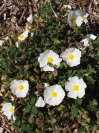 CISTUS salviifolius 'Snowmound'