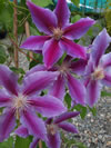 CLEMATIS patens 'Doctor Ruppel'
