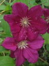 CLEMATIS viticella 'Earnst Markham'