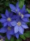 CLEMATIS patens 'H. F. Young'