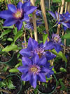 CLEMATIS patens 'Multiblue'