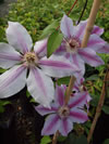 CLEMATIS lanuginosa 'Nelly Moser'