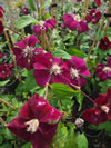 CLEMATIS x jackmanni  'Rogue Cardinel'