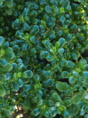 COPROSMA repens 'Middlemore'