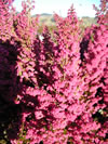 ERICA melanthera 'Ruby Shepherd'