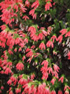 ERICA oatseii 'Winter Fire'