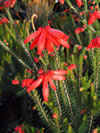 ERICA cerinthoides 'Red'