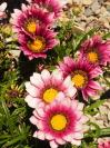 GAZANIA  'New day pink shades'