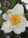 Gordonia yunnanensis 'Moonlight Magic'