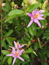 Grewia occidentalis 'Mauve star'