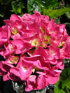HYDRANGEA macrophylla 'Raspberry Crush'