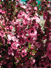 LEPTOSPERMUM scoparium 'Coral Candy'