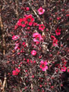 LEPTOSPERMUM  'Electric red'