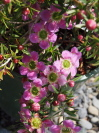 Leptospermum  'Pageant'