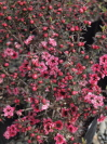 LEPTOSPERMUM scoparium 'Rose Glory'
