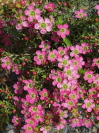 Leptospermum  'Tickled pink'