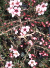 LEPTOSPERMUM scoparium 'Blushing Star'