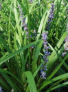 LIRIOPE muscari 'Blue Skies'