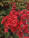 Nandina domestica 'Richmond'