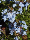 PLUMBAGO auriculata 'Royal Cape'