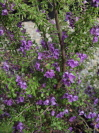 PROSTANTHERA rotundifolia 'Edgintonii'