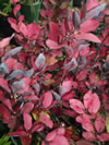PSEUDOWINTERA colorata 'Winter Fire'