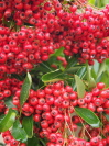 PYRACANTHA  'Brilliant'